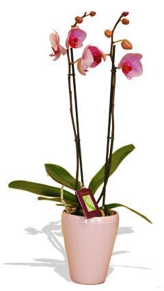 Kytice Orchidej růžová kvetiny/hrnkove-kvetiny