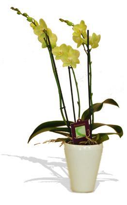 Kytice Orchidej zelená kvetiny/hrnkove-kvetiny