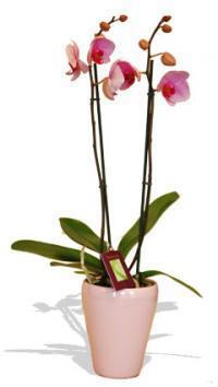 Kytice ORCHIDEJ – vyber barvu kvetiny